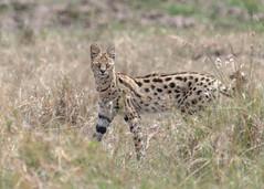 Serval (tickspics) Tags: serval africa kenya masaimara feliformia felidae felinae leptailurusserval mmnr maasaimara masaimaranationalreserve themara
