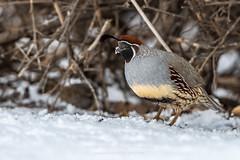 Snowy Quail (TNWA Photography (Debbie Tubridy)) Tags: winter snow quail gambelsquail foragingwinter cold bird nature behavior habitat