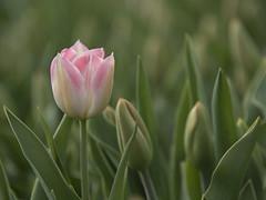 Vivement le printemps (Titole) Tags: tulipe pink green titole nicolefaton friendlychallenges