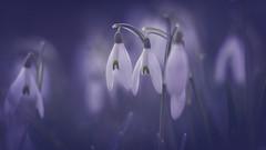 Snowdrops [Explored 07.02.2020] (michel1276) Tags: samyang13520 sonya7iii snowdrops schneeglöckchen frühling frühblüher spring springflowers flowers flora bokeh