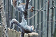 Playful Squirrels (Anne Ahearne) Tags: wild animal nature wildlife gray grey squirrel easterngraysquirrel cute funny playing animalplanet animals
