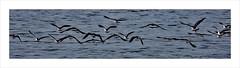 Lapwing take flight (prendergasttony) Tags: avian bird beak border birdwatching birding birds rspb water wildlife wild lapwing tony prendergast nikon d7200 reflection elements wings nature feathers flight