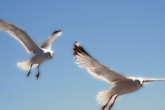 Angelic Flight (big_jeff_leo) Tags: flight bird sky blue bluesky seagul seagull wings