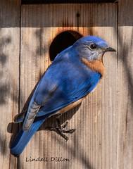 Winter bluebird (Lindell Dillon) Tags: easternbluebird sialis bird birding nature oklahoma normanok wildoklahoma