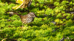 The Song Sparrow that walked on water (Bob Gunderson) Tags: birds botanicalgardens california goldengatepark melospizamelodia northerncalifornia sanfrancisco songsparrow sparrows