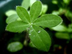 Garden glory (joannefunke) Tags: droplets green rain raindrops waterdroplets plants leaves garden macro earth water nature naturalworld natural