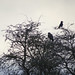 Buzzard and carrion-crow, 2020 Jan 05