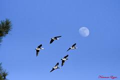 Destination.......Lune (Ezzo33) Tags: france gironde nouvelleaquitaine bordeaux ezzo33 nammour ezzat nikon d500 parc jardin oiseau oiseaux bird birds oie oies goose geese