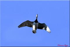 Bernache Nonnette (Ezzo33) Tags: france gironde nouvelleaquitaine bordeaux ezzo33 nammour ezzat nikon d500 parc jardin oiseau oiseaux bird birds bernachenonnette oie oies goose geese