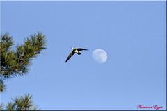 Désolé pas pour moi la lune (Ezzo33) Tags: france gironde nouvelleaquitaine bordeaux ezzo33 nammour ezzat nikon d500 parc jardin oiseau oiseaux bird birds oie oies goose geese