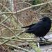 Carrion-crow, 2020 Jan 05