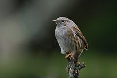 Accenteur mouchet (eric.courant) Tags: accenteurmouchet oiseau oiseaux bird birds mayenne jardin garden photoanimalière d850 nikon200500