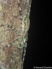 Lichen Hunstman Spider (Pandercetes sp.)