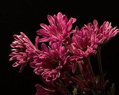 Greed 1027 (Tjerger) Tags: nature beautiful beauty black blackbackground bloom blooming blooms bunch closeup cluster fall flora floral flower flowers greed green group macro mum pink plant portrait white wisconsin mums natural bloominggroup