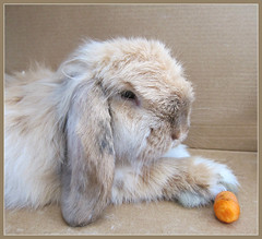 'Peaches' (Mary Faith.) Tags: pet nature angora rabbit animal portrait pale carrot