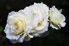 🇧🇬 Rosa alba / Бяла маслодайна роза (mitko_denev) Tags: bulgaria bulgarien българия kazanlak казанлък рози роза rose roses flower цвете