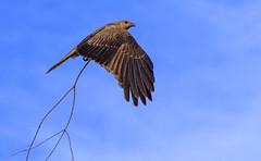 lagoon creek, a nesting whistling kite #2 (Fat Burns ☮) Tags: whistlingkite haliastursphenurus kite raptor bird australianbird fauna australianfauna hawk nikond750 sigma150600mmf563dgoshsmsports sigmatc140114xteleconverternik barcaldine lagooncreek australia