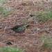 Olive-backed pipit (Anthus hodgsoni, ビンズイ)