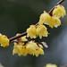 Wintersweet flowers (Chimonanthus praecox form. concolor, ソシンロウバイ)