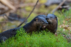 Otters (BEHP Photography) Tags: otter animal wild green outside nikkor nikon secrets coth5 forest water drops droplets splash florida riverside trees teeth tongue whiskers mammal wildlife nature d850 naturephotography wildlifephotography grass swamp rookery riverotter animalplanet ngc