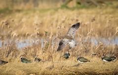 Curlew Flight (kchallenger.challenger) Tags: curlew wader coast rspb frampton marsh birds birdphotography ukbirds ukbirdphotos ukwildlifeimages nature naturephotography