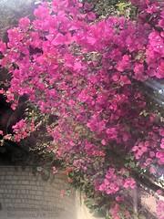 Sun Kissed (Anuradha Nautiyal) Tags: pink bloom blossom bougainvillea flower flora sunryas sunkissed sun rays phonephotography shotoniphone iphonex bangalore bengaluru karnataka india