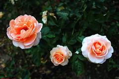 🇧🇬 Apricot Nectar rose / Роза Кайсиев нектар (mitko_denev) Tags: bulgaria bulgarien българия kazanlak казанлък рози роза rose roses flower цвете