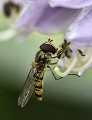 Photo of Hover fly in summer
