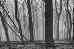 Trees (l4ts) Tags: landscape derbyshire peakdistrict darkpeak eyam eyamedge trees woodland mist blackwhite monochrome ortoneffect