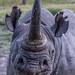 Barako, The Blind Black Rhino, Ol Pejeta Conservancy, Kenya
