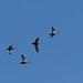 Eastern spot-billed ducks (カルガモ)