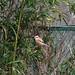 Bull-headed shrike (モズ)