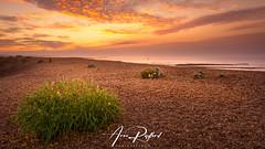 Shingle Sunrise [Explored] (Aron Radford Photography) Tags: yellow shingle street beach coast sea sunrise dawn golden glow hour landscape east anglia plant clouds