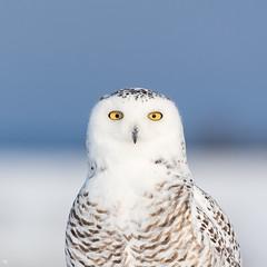 ''La belle!'' harfang des neiges-Snowy owl (pascaleforest) Tags: oiseau bird animal owl passion nikon nature wild wildlife faune québec canada