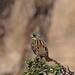 Masked bunting (Emberiza personata, アオジ)