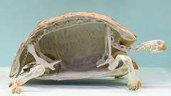 Tortoise (Graham Knott) Tags: naturalhistorymuseum tortoise