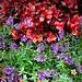 Stratford Ontario  ~ Canada ~ Peony Flower ~ Shakespearean  Botanical Garden  ~ Heritage