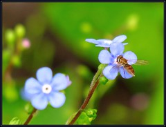 IMG_5777 Unforgettable 5-30-17 (arkansas traveler) Tags: flowers forgetmenots bugs bichos insects hoverfly syrphidfly zoom telephoto bokeh bokehlicious nature naturewatcher natureartphotography