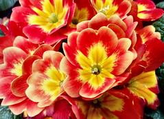 allen ein schönes und herzliches Wochenende !! (karin_b1966) Tags: blume flower blüte blossom pflanze plant gartenabteilung 2020 primeln yourbestoftoday