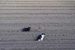 gatos del campo (Chris Arts) Tags: agriculture cat rural hortanord feral spain comunidadvalenciana