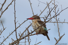 Brown-hooded Kingfisher (leendert3) Tags: leonmolenaar southafrica krugernationalpark wildlife wilderness wildanimal nature naturereserve naturalhabitat bird brownhoodedkingfisher