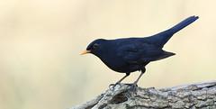 Merle noir (Guillaume Dardant) Tags: nature sauvage oiseaux bird passereaux forêt bois loiret d850 500mmf4 nikon merlenoir turdusmerula turdidés commonblackbird passériformes affût