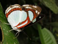 Pyrrhogyra otolais (hippobosca) Tags: butterfly ecuador nymphalidae pyrrhogyraotolais macro insect lepidoptera