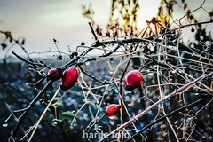 Kurz nach Sonnenaufgang (Harde) Tags: sonnenlicht sunlight sun sonne morgen morninglight morgenlicht winterlicht winter hecke heckenrose hedge colours farbe farbig colourful cold kalt knick feld feldrand horizont horizon
