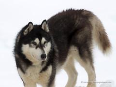 Siberian Husky (My Planet Experience) Tags: siberian husky portrait siberia alaskan alaska black white blue blueeyes coat dog snowdog sleddog sled snow animal winter nopeople myplanetexperience wwwmyplanetexperiencecom