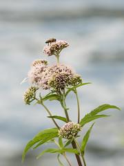 bzzz (mout1234) Tags: abeille fleur flower nature