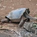 Saddleback Tortoise