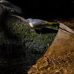 Grey Wagtail by the river