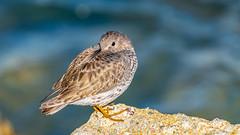 Rock Sandpiper (Bob Gunderson) Tags: birds calidrisptilocnemis california heronshead northerncalifornia rocksandpiper sanfrancisco sandpipers shorebirds