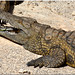Crocodile (Zoo Oasis-Fuerteventura/Canaries)
